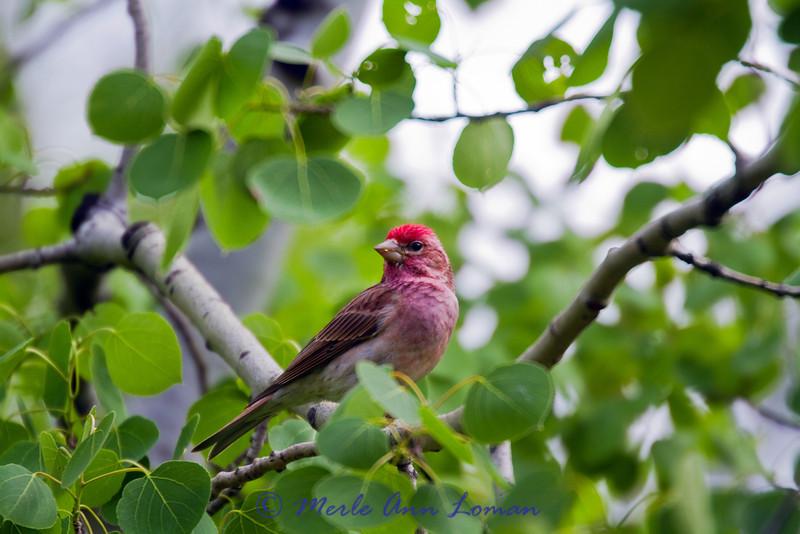 Cassin's Finch - Carpodacus cassinii, male
