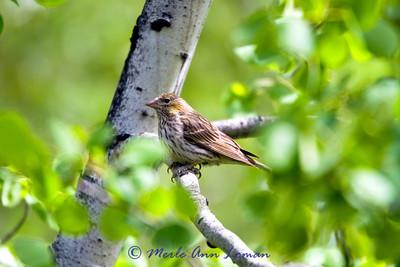 Cassin's Finch - Carpodacus cassinii, female