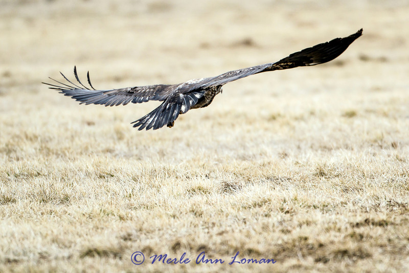 In flight the bald eagle will hold its wings flat like a board.