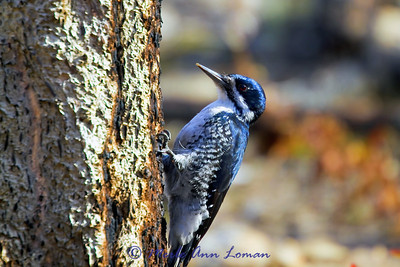 Black-backed Woodpecker - Picoides arcticus