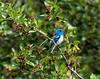 Lazuli Bunting IMG_7687