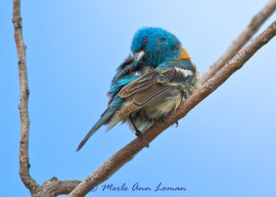 8 x 10 - Lazuli Bunting - Passerina amoena after a bath. Taken at the National Bison Range near Moise in early June.
