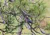 20150530-3R9B6411-Lewis-Woodpecker-5x7