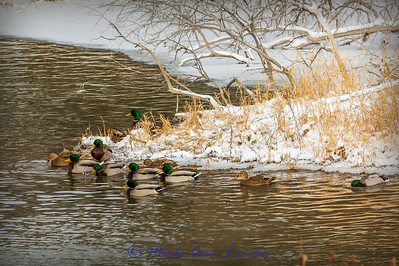 Mallards on Mission Creek in the Mission Valley, Montana, USA. December - IMG-3657-11x14
