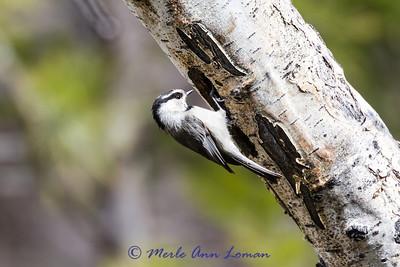 Mountain Chickadee IMG 3245