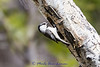 Mountain Chickadee IMG 3245