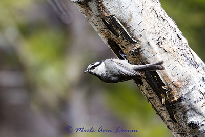 Mountain Chickadee Image 3244