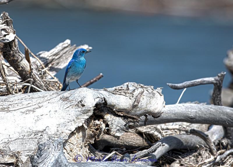 Mountain Bluebird Image 3494