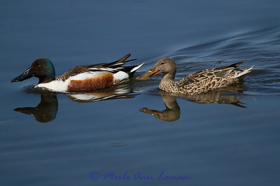Northern Shoveler - Anas clypeata, male and female. Summer resident in Montana.