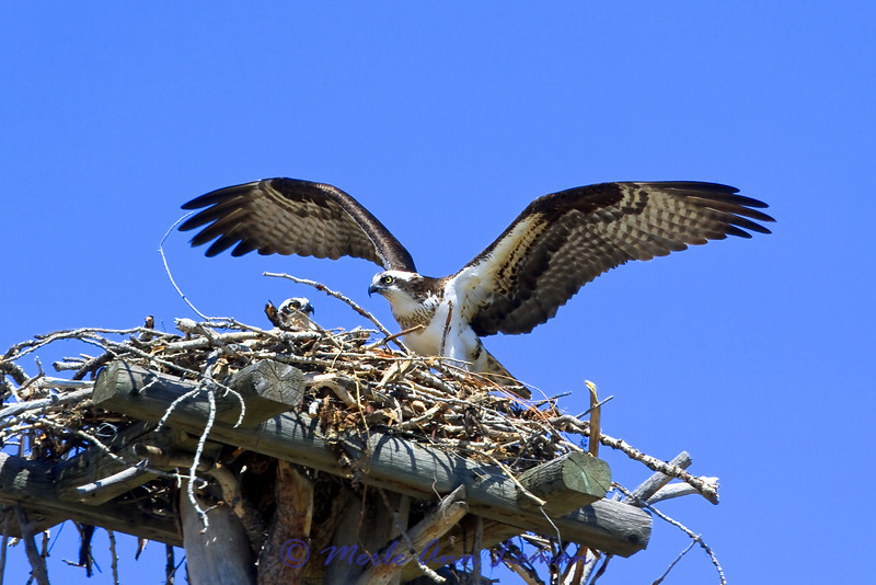 Osprey and chick in nest in western Montana, USA. Image 4823.