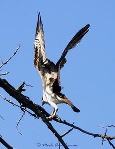 Osprey with a fish near Bear Creek