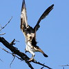 Osprey with a fish near Bear Creek