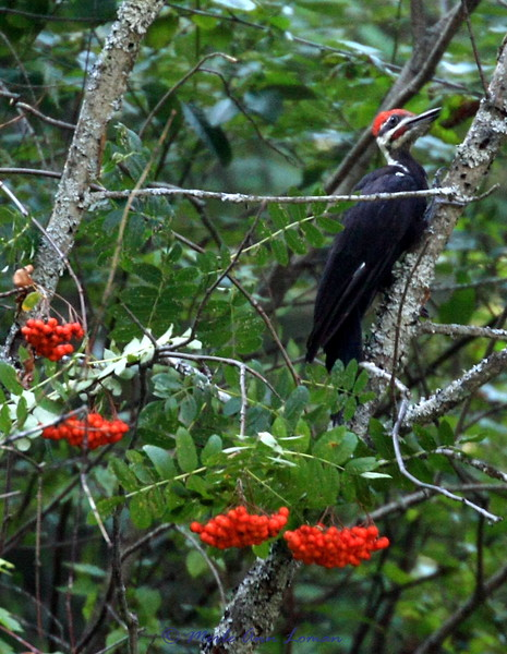 Mountain Ash<br /> Pileated woodpecker near Sweathouse Creek in the Bitterroot