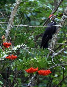 Mountain Ash Pileated woodpecker near Sweathouse Creek in the Bitterroot