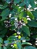 """Red Osier Dogwood<br />  <a href=""""http://en.wikipedia.org/wiki/Red_Osier_Dogwood"""">http://en.wikipedia.org/wiki/Red_Osier_Dogwood</a>"""