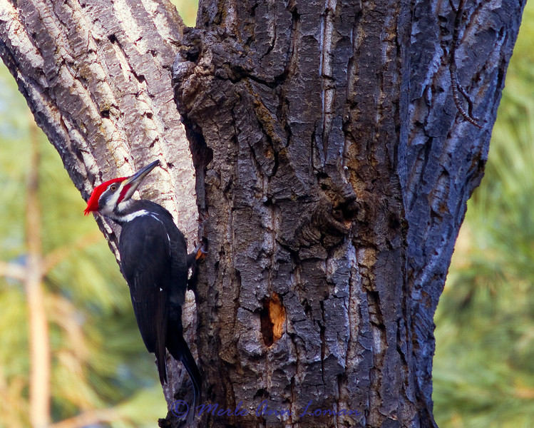 Pileated Woodpecker on a big 'ole Cottonwood tree. Image 8449.