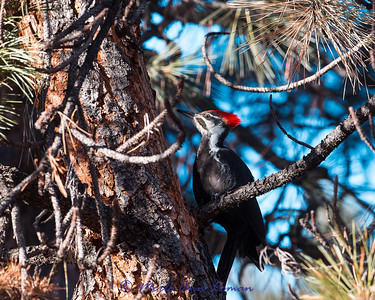 Pileated Woodpecker on Ponderosa Pine in January. Montana, USA.