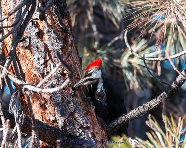 Pileated Woodpecker on Ponderosa Pine in January. Bitterroot Valley, Montana, USA.