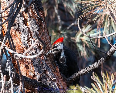 Pileated Woodpecker on Ponderosa Pine in January. Bitterroot Valley, Montana, USA.