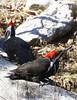 Female in front, male in back (he has red mark near his beak)