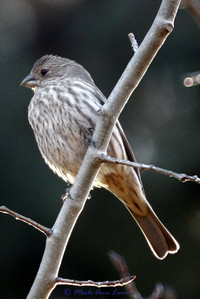 stout bill, this is a finch