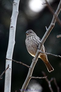 Much stouter bill, this is a finch