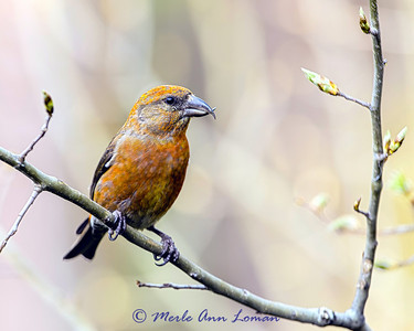Male Red Crossbill west of Victor, Montana in May. Image 5940