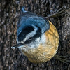 Red-breasted Nuthatch - Sitta canadensis IMG_5681