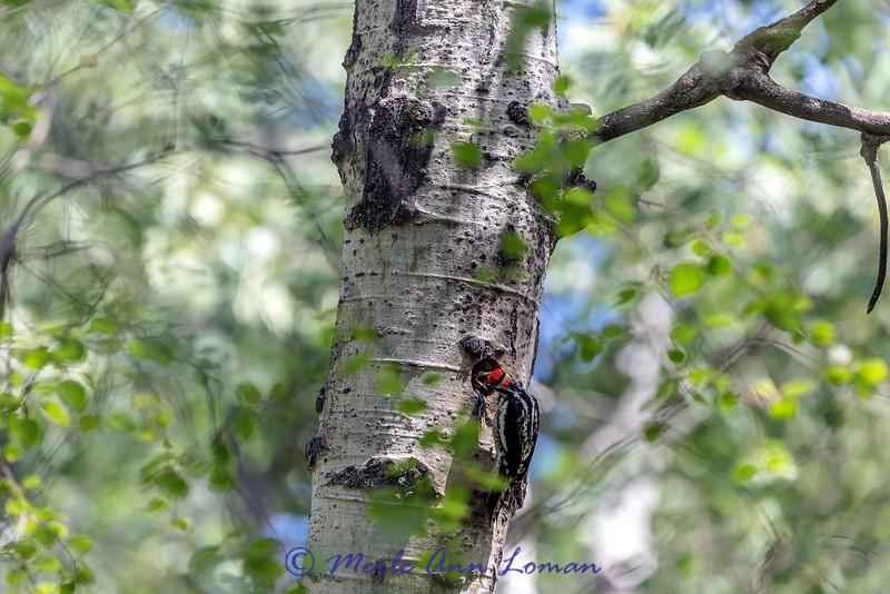 """Red-naped Sapsucker feeding a chick sap - I saw it gather the sap in it's bill and come back to the next. IMG_1475 - ¯\_(ツ)_/¯ Please share and like the A Montana View Facebook page! Thanks so much for viewing. 