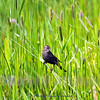 female Red-winged Blackbird by the nest.