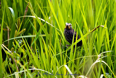 fledgling Red-winged Blackbird by the nest.