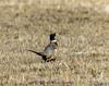 Ring-necked Pheasant - Phasianus colchicus IMG_5052