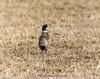 Ring-necked Pheasant - Phasianus colchicus IMG_5047