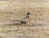 Ring-necked Pheasant - Phasianus colchicus IMG_5060
