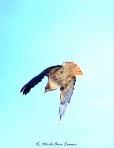 This is a Red-tailed Hawk