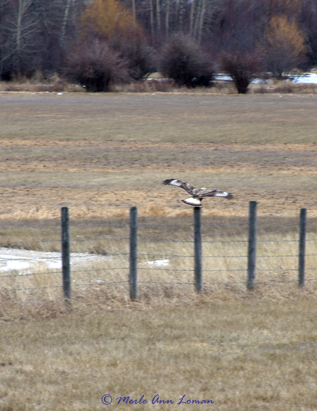 Heading for a fence post. It is a common vantage point for hunting.