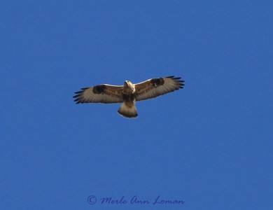 See the dark spot at the wrist, mostly white wing, and dark band at the tip of the tail
