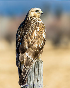 Rough-legged Hawk - Buteo lagopus #1, 8x10