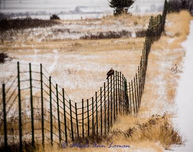 Rough-legged Hawk in Mission Valley, Img-3657 11x14