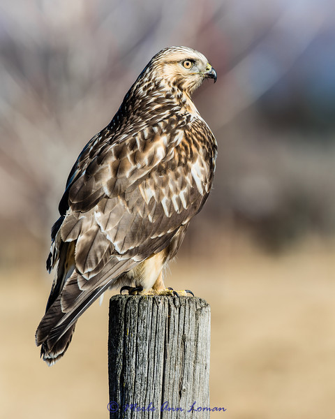 Rough-legged Hawk - Buteo lagopus #2, 8x10