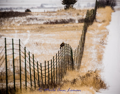 Rough-legged Hawk in Mission Valley, Img-3657