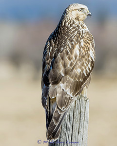 Rough-legged Hawk - Buteo lagopus #3, 8x10