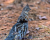 20150215-3R9B5852-Ruffed_Grouse-8x10