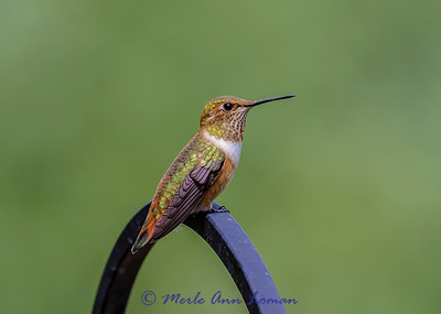 Female Rufous Hummingbird IMG_3187 ¯\_(ツ)_/¯ Please share and like the A Montana View Facebook page! Thanks so much for viewing. | visit www.amontanaview.com | #Photography #Montana #MontanaMoment #rufous - Buy this photo at this link http://smu.gs/1el4GLO