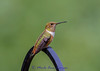 "Female Rufous Hummingbird IMG_3187 ¯\_(ツ)_/¯ Please share and like the A Montana View Facebook page! Thanks so much for viewing. | visit  <a href=""http://www.amontanaview.com"">http://www.amontanaview.com</a> 