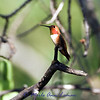 Rufous Hummingbird - Selasphorus rufus, July 28, 2012