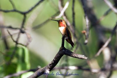 Rufous Hummingbird - Selasphorus rufus, July 28, 2012