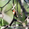 Rufous Hummingbird - Selasphorus rufus, July 28, 2012. The eye is closed in this shot...napping?