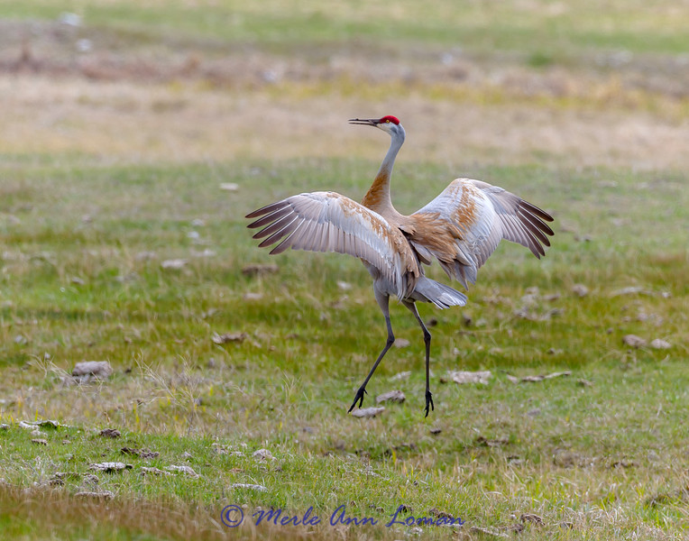 Sandhill Crane in mating dance IMG_1360 - April 2015