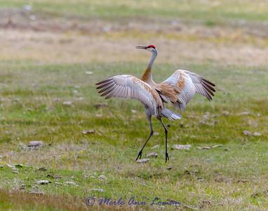 Sandhill Crane in mating dance IMG_1360 - April 2015